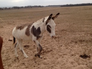 Tiny Timmy in one of our pastures